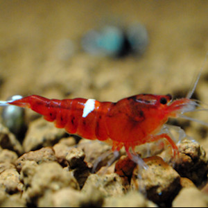 Caridina Cantonensis sp. Taiwan Red Ruby
